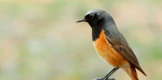 Птица горихвостка фото