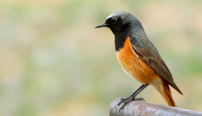 Горихвостка Птицы Белгородской области