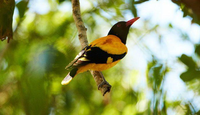 Птица иволга - фото