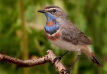 Птица варакушка фото
