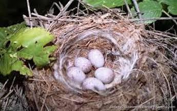 Гнездо зеленушки