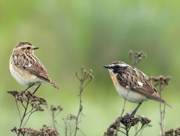 Самец и самка чекана: основные отличия фото
