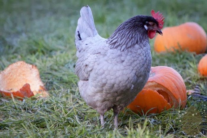 Андалузская голубая курица фото