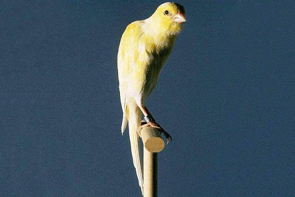Бельгийская канарейка фото