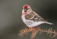 Чечетка птица фото