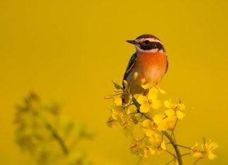 Чекан птица фото