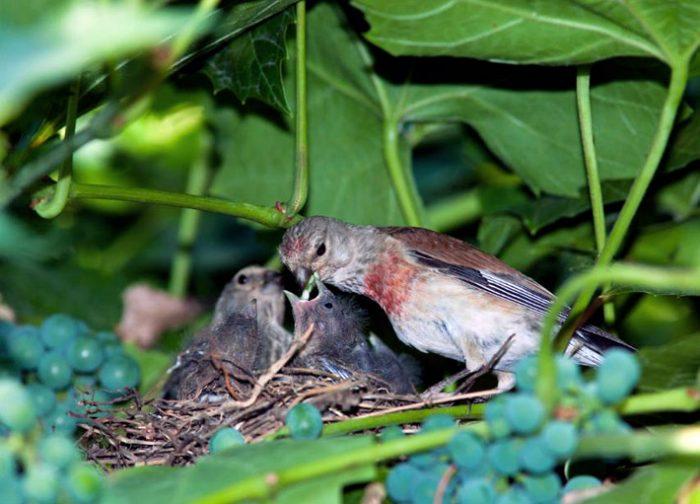 Гнездование коноплянок фото