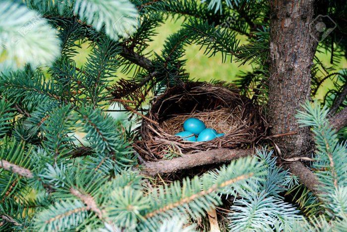 Гнездование зарянок фото