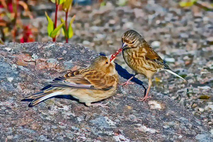 Информация о птенцах коноплянки фото