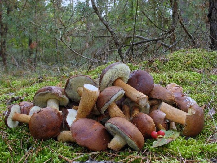 Когда появляются польские грибы фото