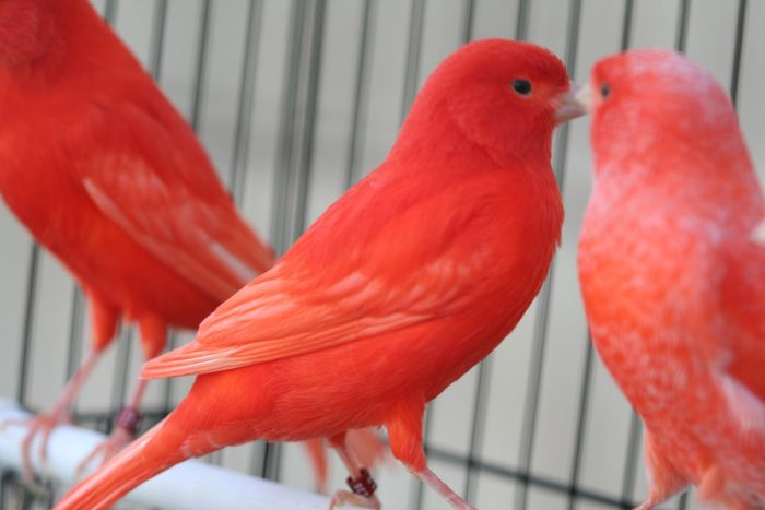 Красные канарейки фото