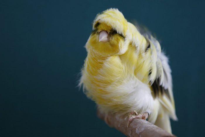 Курчавые канарейки фото