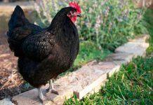 Курица домашняя фото