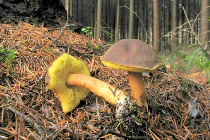 Ножка польского гриба фото