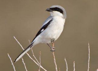 Птица сорокопут - фото