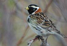 Птица лапландский подорожник - фото