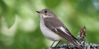Птица мухоловка - фото