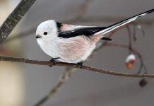 Птица ополовник - фото