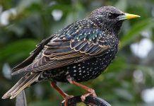 Птица скворец - фото