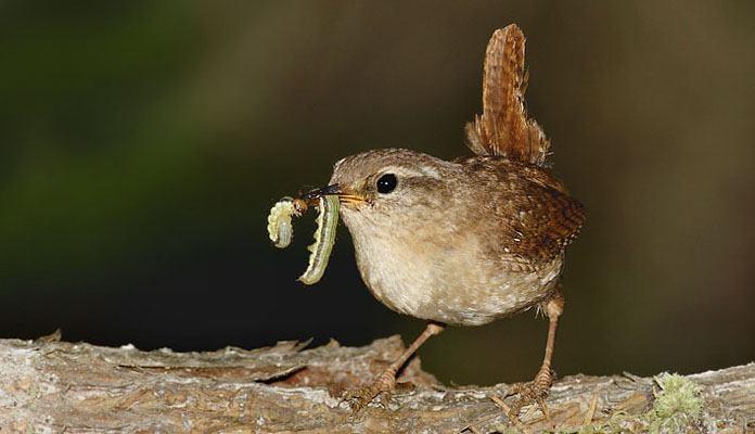 Особенности питания крапивника - фото