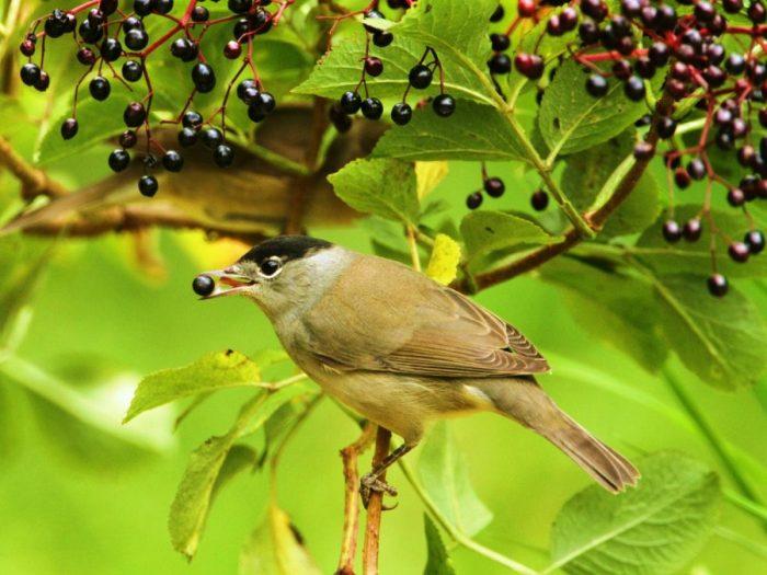 Особенности питания птицы славки фото