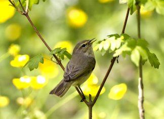 Пеночка птица фото