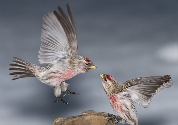 Чечетка перелетная ли это птица фото