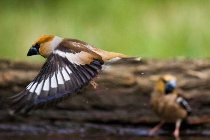 Перелетная или зимующая птица дубонос фото
