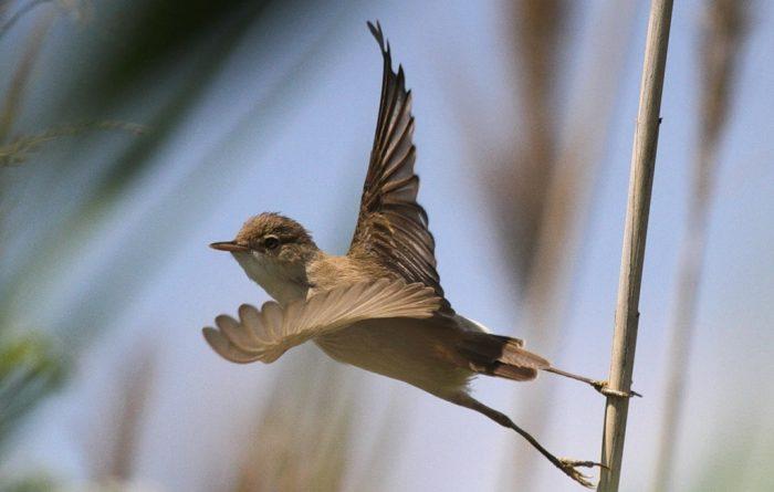 Перелётная птица камышовка или зимующая фото