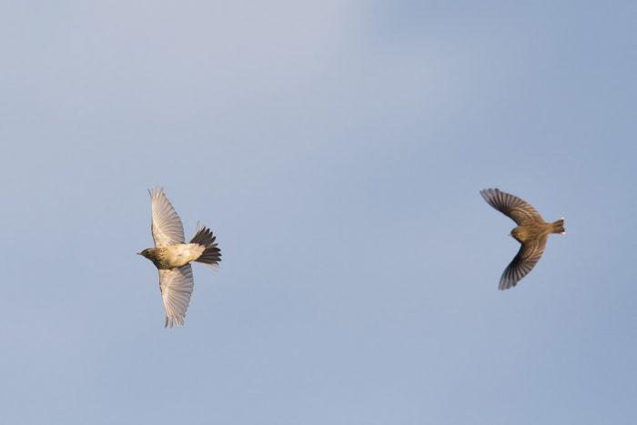 Перелетная ли птица конек фото