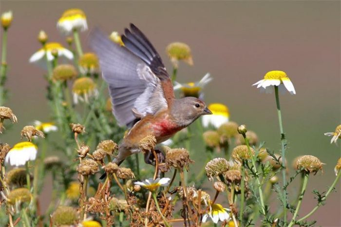 Перелетная или зимующая птица коноплянка фото