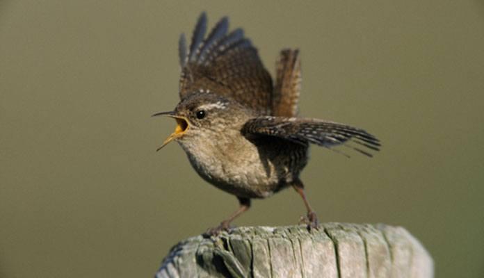 Крапивник перелетная птица или нет - фото