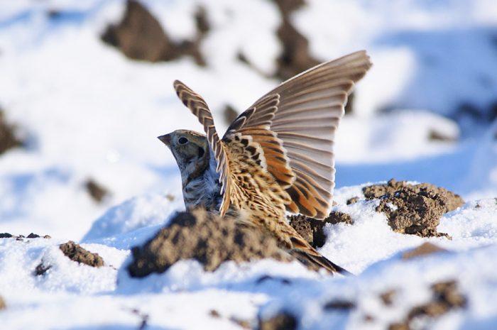 Перелетная ли птица лапландский подорожник фото