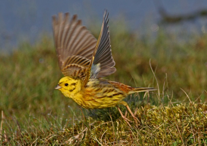 Перелетная ли птица овсянка фото