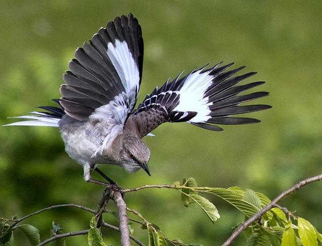 Перелетная ли птица пересмешка фото