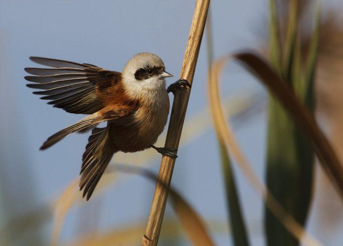 Перелетная ли птица ремез фото