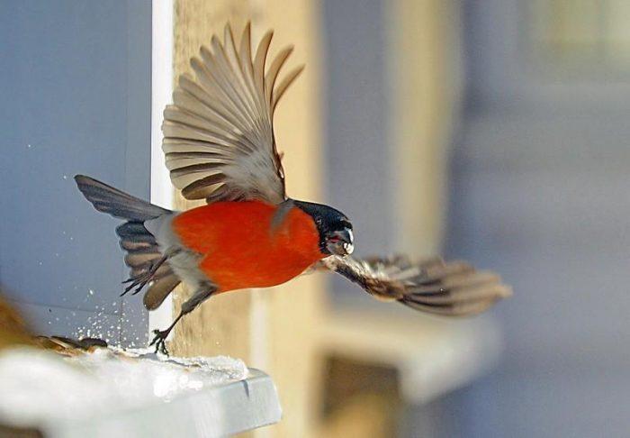 Перелетная птица щур или зимующая фото
