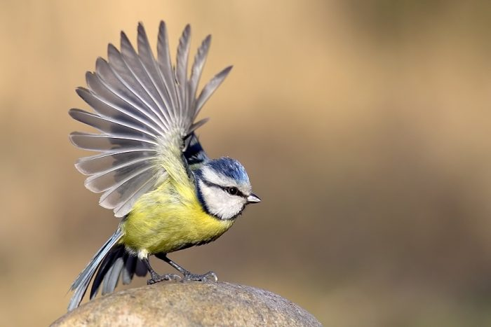 Перелетная ли птица синица фото