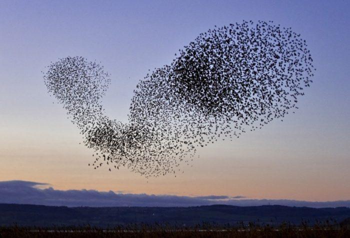 Перелетная ли птица скворец фото