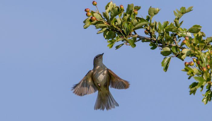 Перелетная ли птица соловей фото