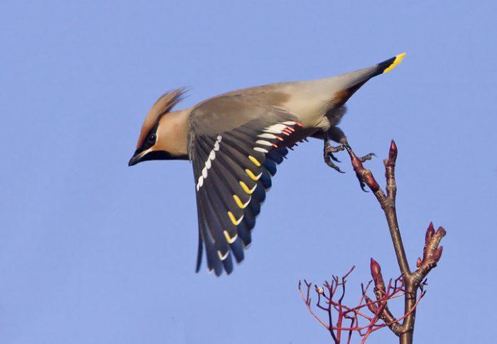 Перелетная ли птица свиристель фото