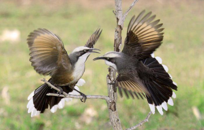 Перелетная или зимующая птица тимелия фото