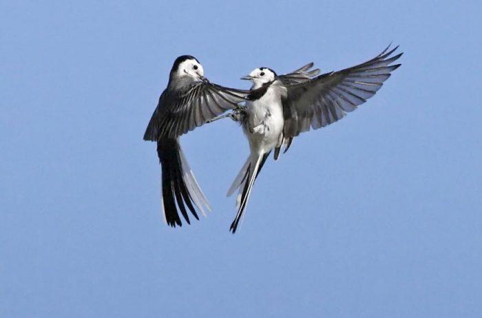 Перелетная ли птица трясогузка фото