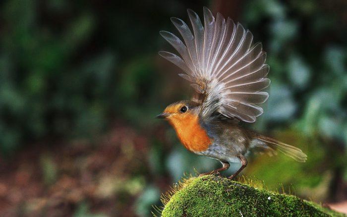 Перелётная или зимующая птица зарянка фото