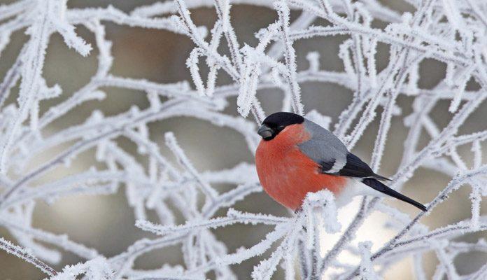Снегирь зимой - фото