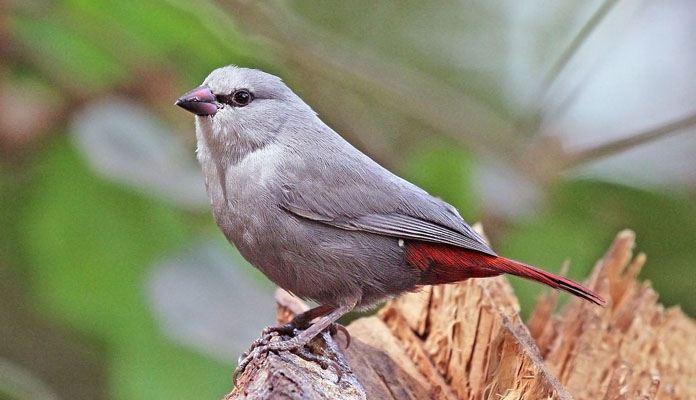 Астрильд перелетная птица или зимующая фото