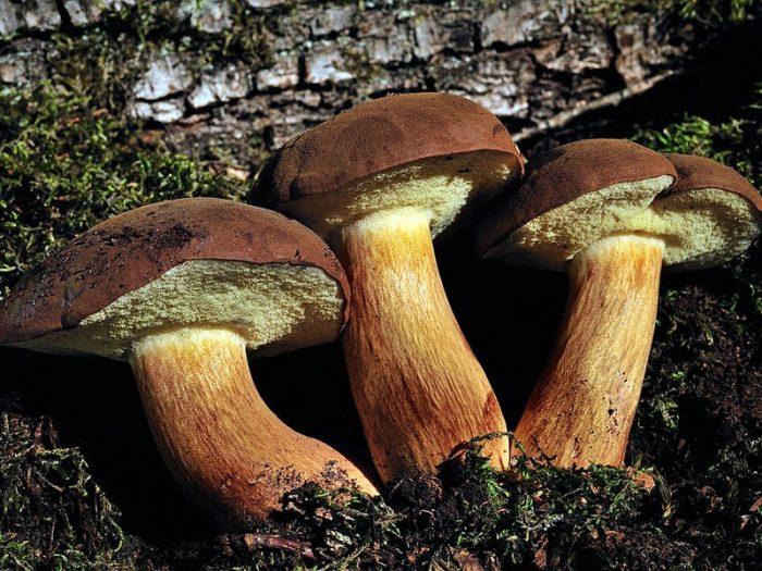 Польский гриб выращивание фото