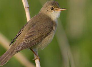птица камышовка - фото