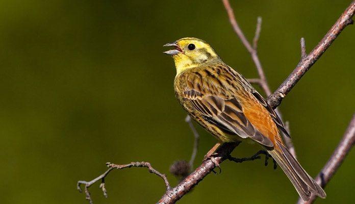 Птица овсянка - фото