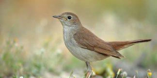 птица соловей - фото